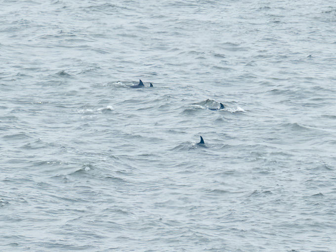 Dolphins at The Needles