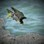 Peregrine Falcon by Isle of Wight Photographic Society